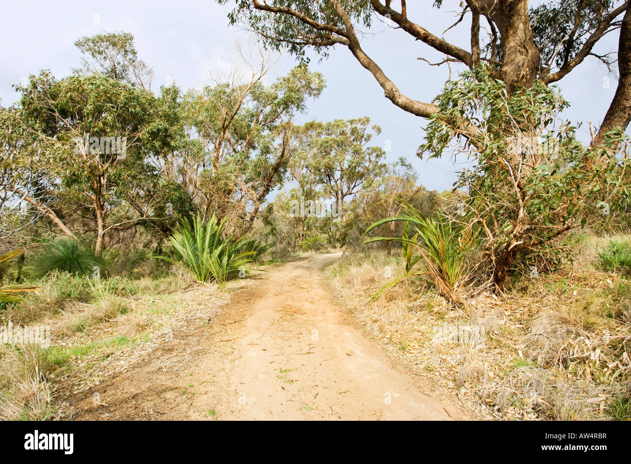 Macrozamia plants (of the cycad family) and eucalyptus trees growing beside a dirt road near Perth, Western Australia Stock Photo