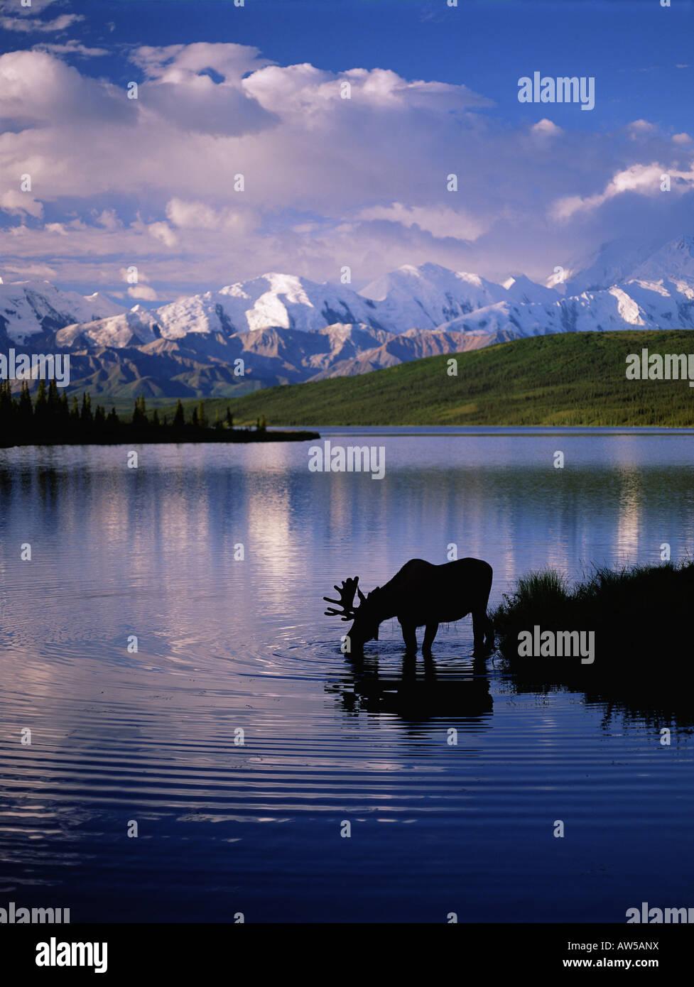 Moose in Wonder Lake Alaska Range Denali N P - Stock Image