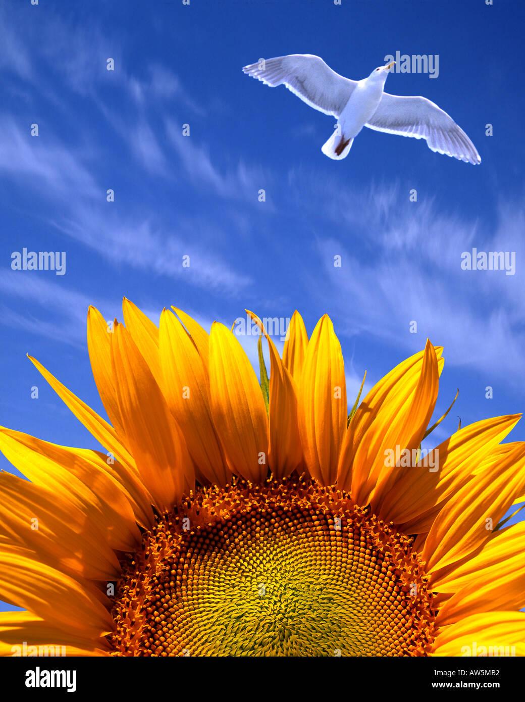 FR - PROVENCE: Sunflower (lat. helianthus) - Stock Image