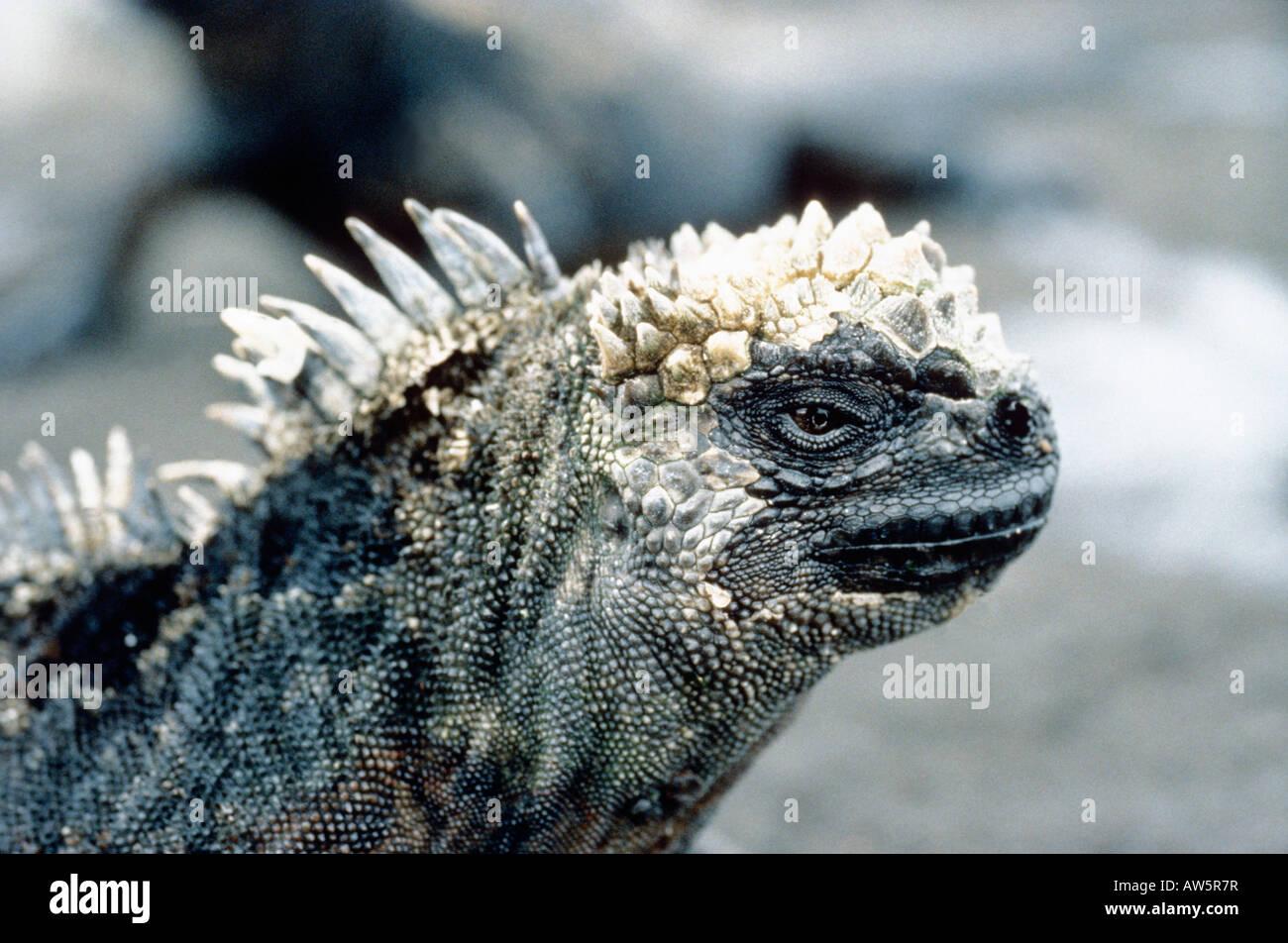 Amazing Marine Iguana Anatomy Mold - Physiology Of Human Body Images ...