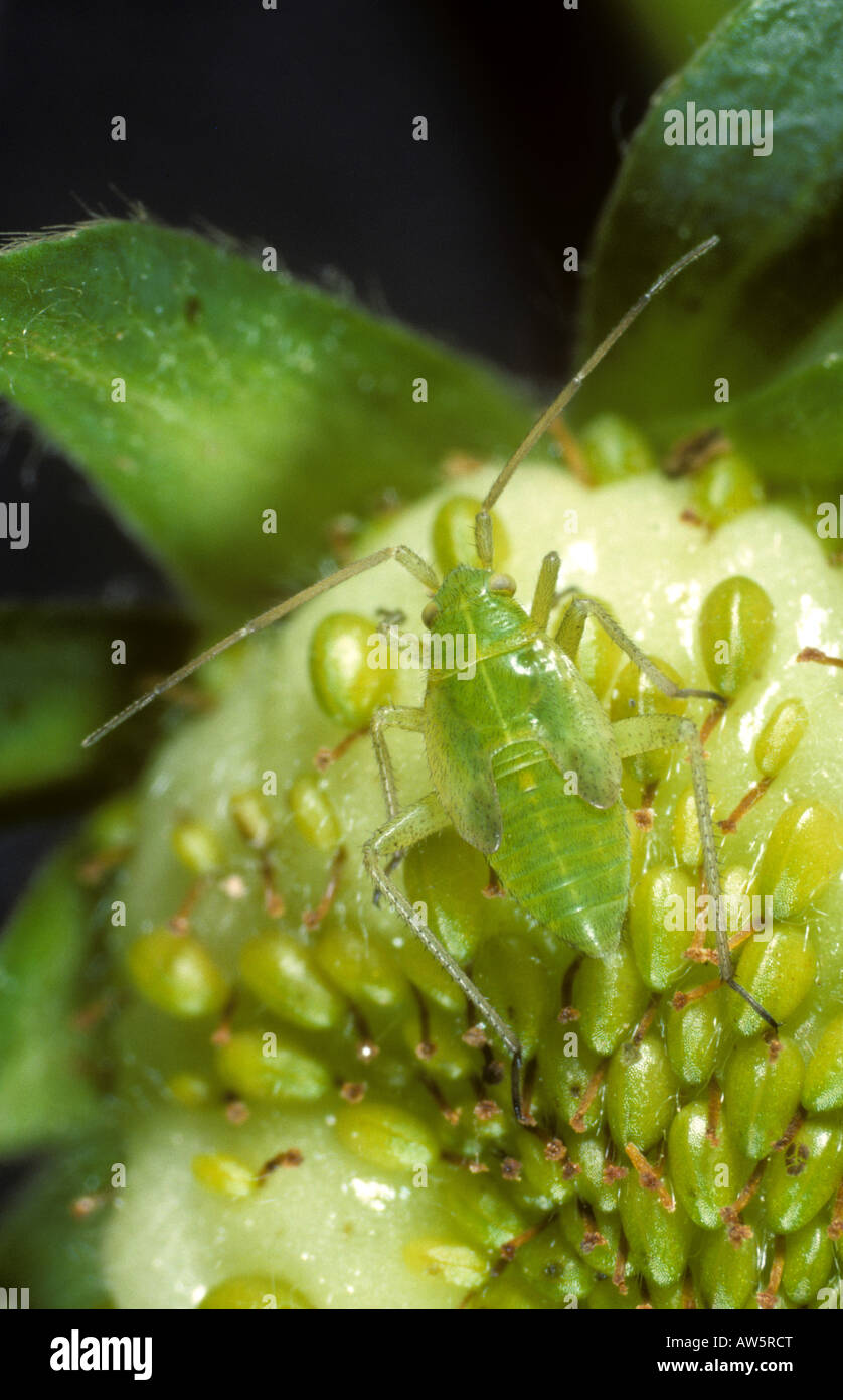 Potato capsid Calocoris norvegicus nymph on immature strawberry fruit - Stock Image