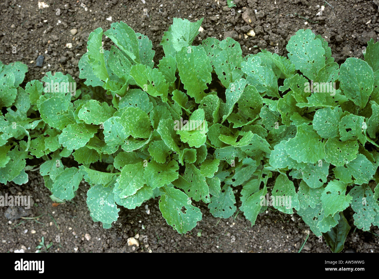Flea beetle Phyllotreta spp feeding damage to radish plants - Stock Image