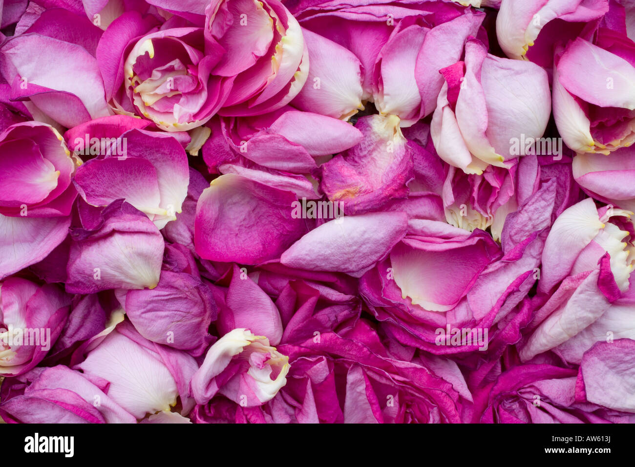 Rose petals - Stock Image