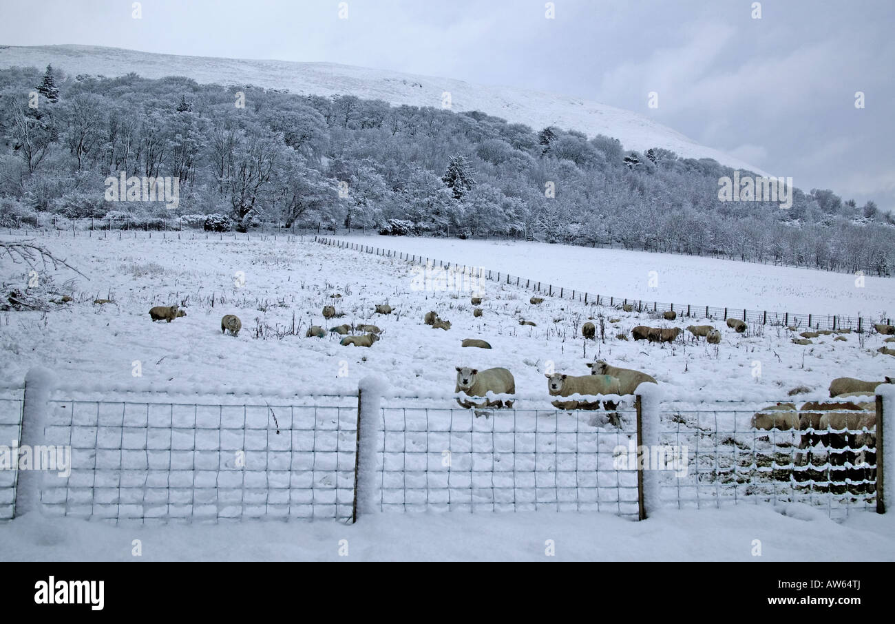Sheep behind wire fence in field covered in snow, Midlothian, Scotland, UK, Europe - Stock Image