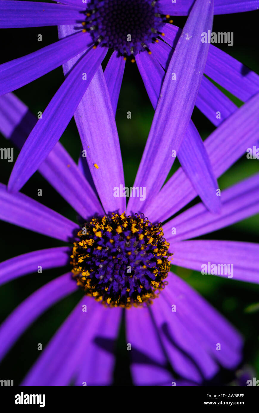 Purple daisy like flowers stock photos purple daisy like flowers bluepurple daisy like flower from the aster family called brachyglottis hectoris izmirmasajfo