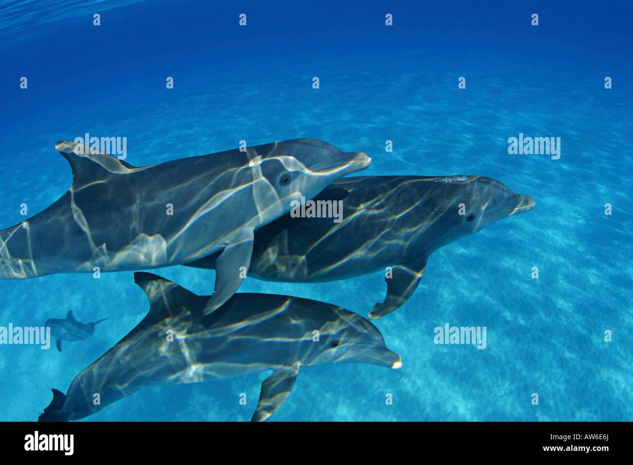 These Atlantic Bottlenose Dolphin, Tursiops truncatus, were photographed on the Bahamas Bank. Stock Photo