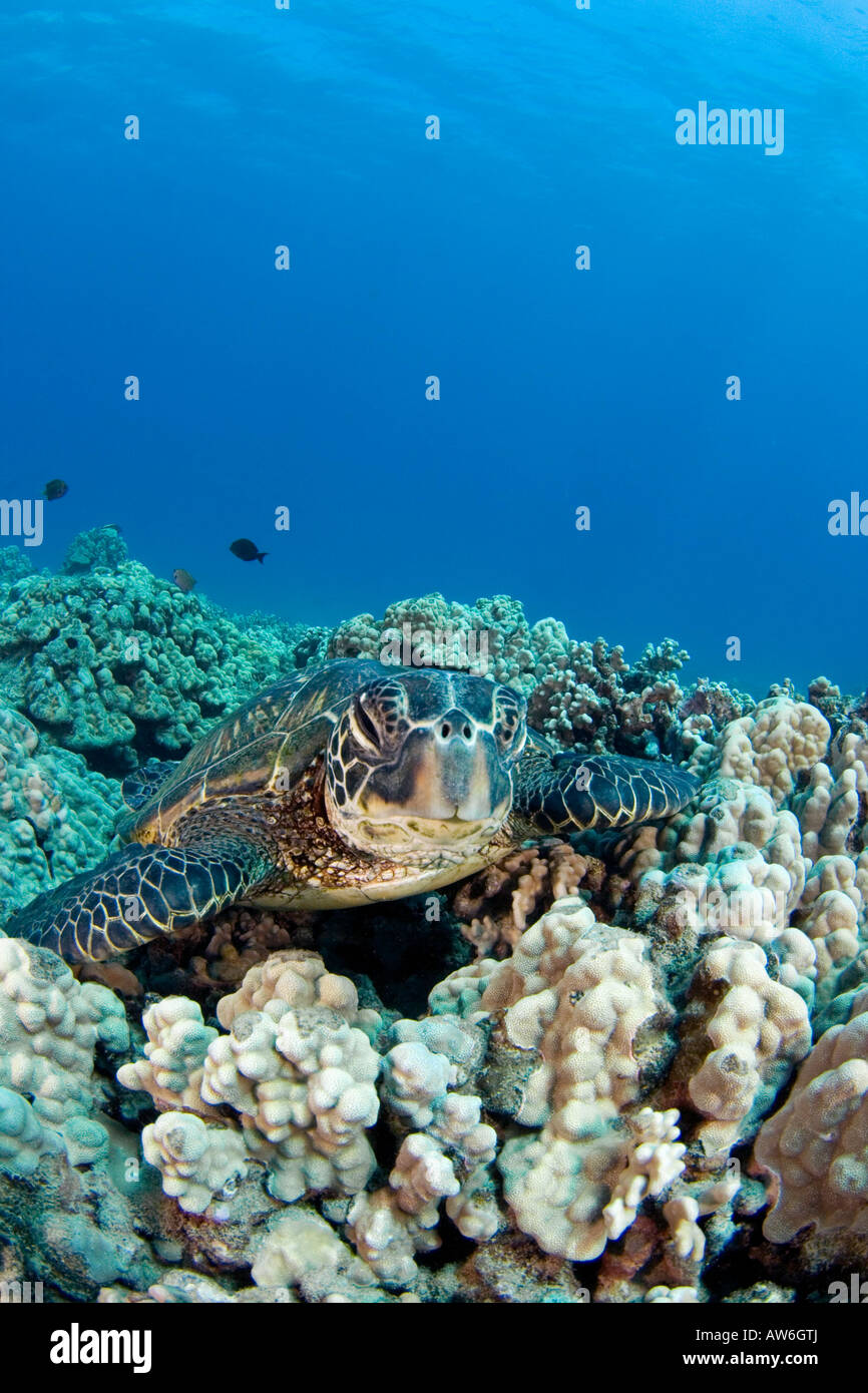 Green sea turtle, Chelonia mydas, an endangered species, Hawaii. - Stock Image