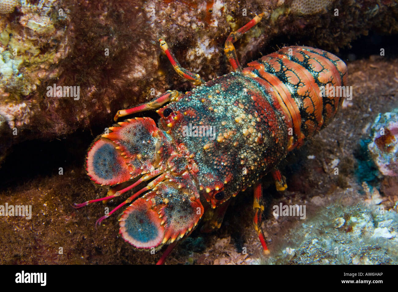 Regal slipper lobsters, Arctides regalis, are also called shovel nosed lobsters, Hawaii. - Stock Image