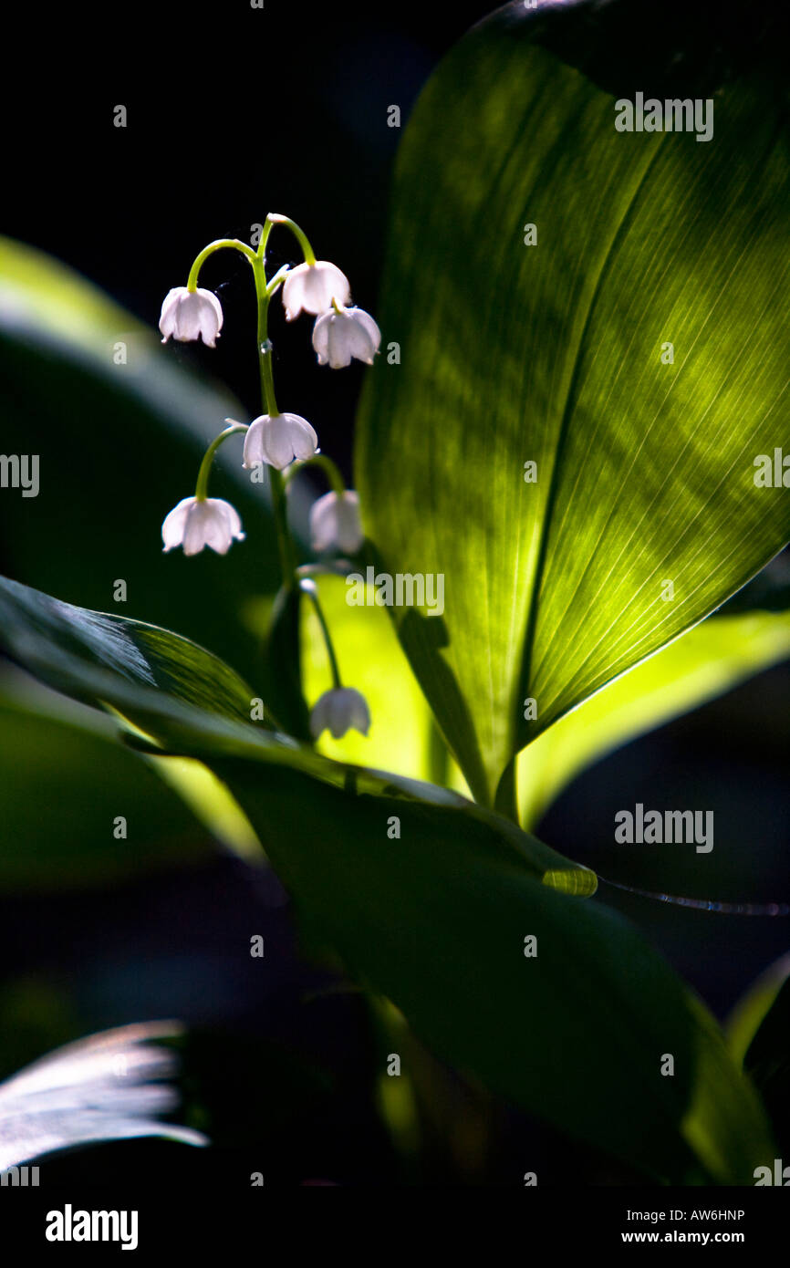 Lilyofthevalley stock photos lilyofthevalley stock images alamy lily of the valley flowers stock image izmirmasajfo