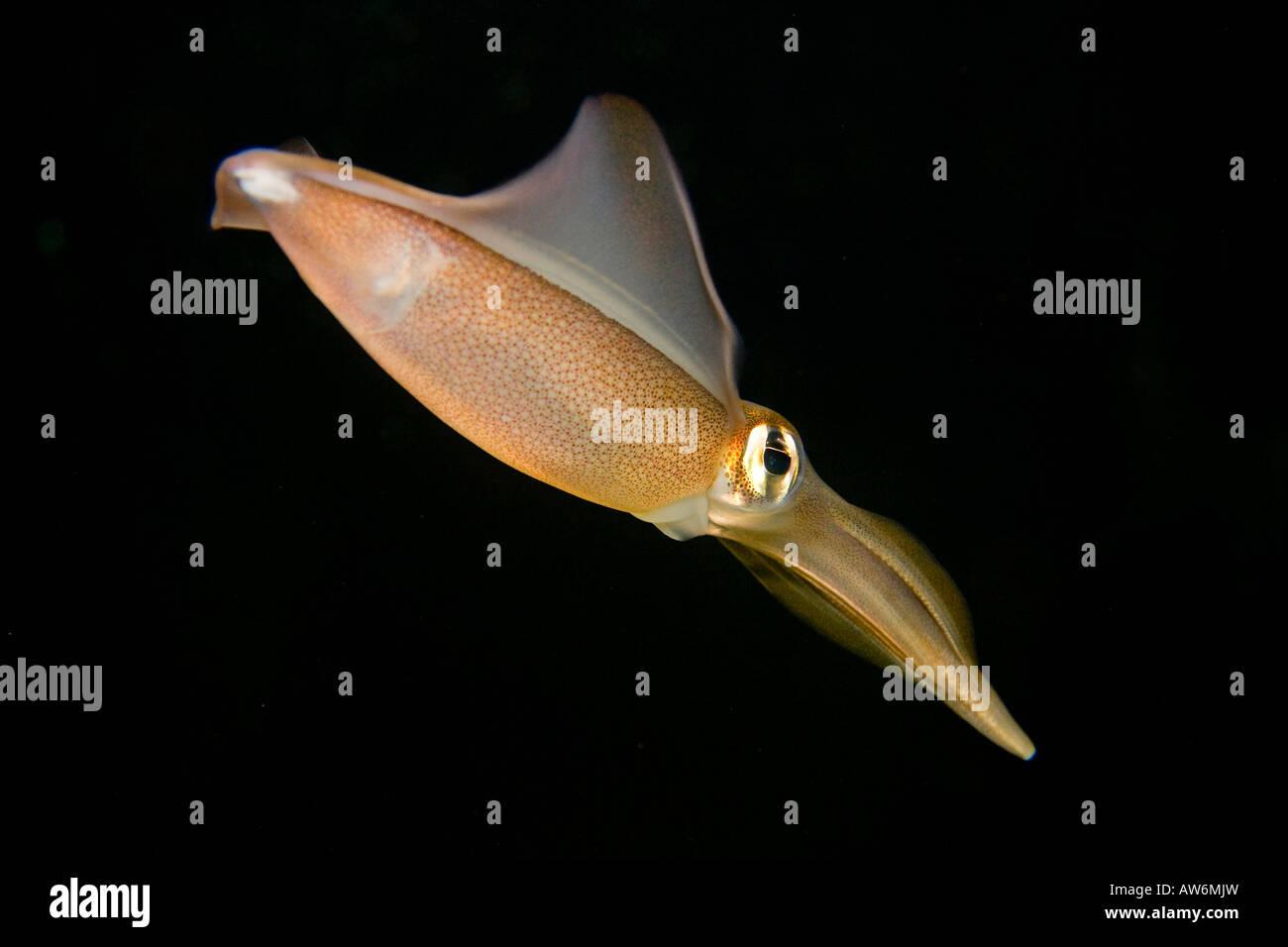 Southern squid, Sepioteuthis australis, Australia. - Stock Image
