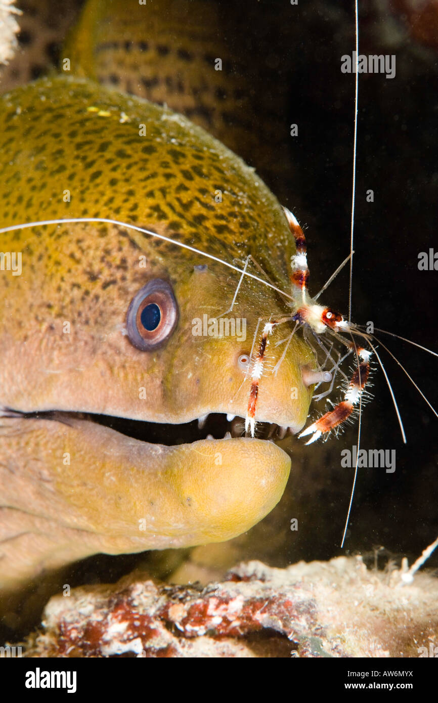 Banded boxer shrimp, Stenopus hispidus, on a giant moray eel, Gymnothorax javanicus, Yap, Micronesia. - Stock Image
