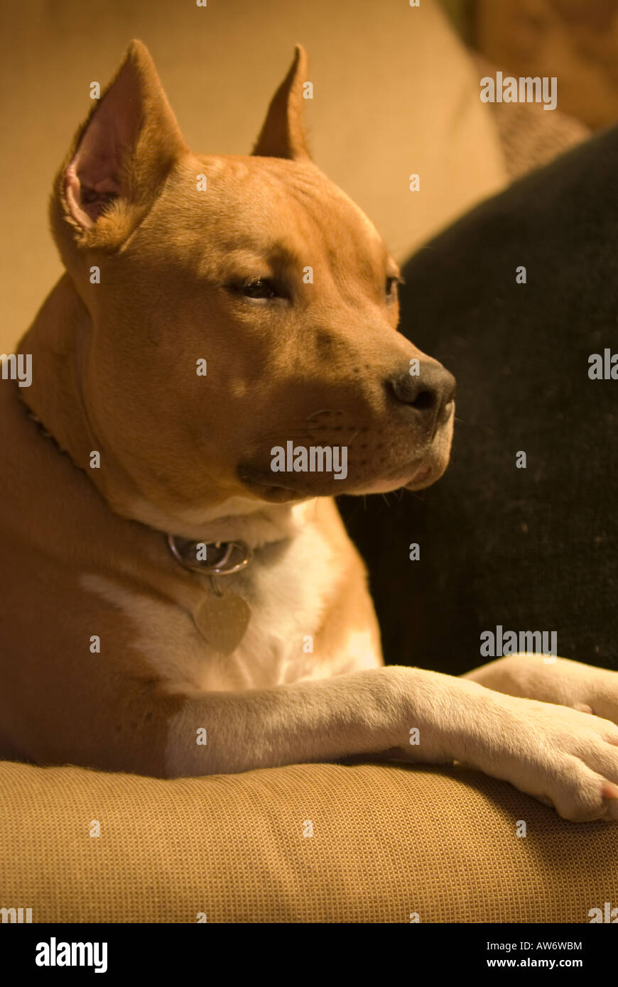 Handsome Pit Bull Portrait - Stock Image