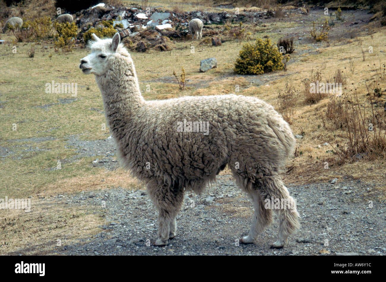 ALPACA  Lama pacos near Arica, Chile - Stock Image