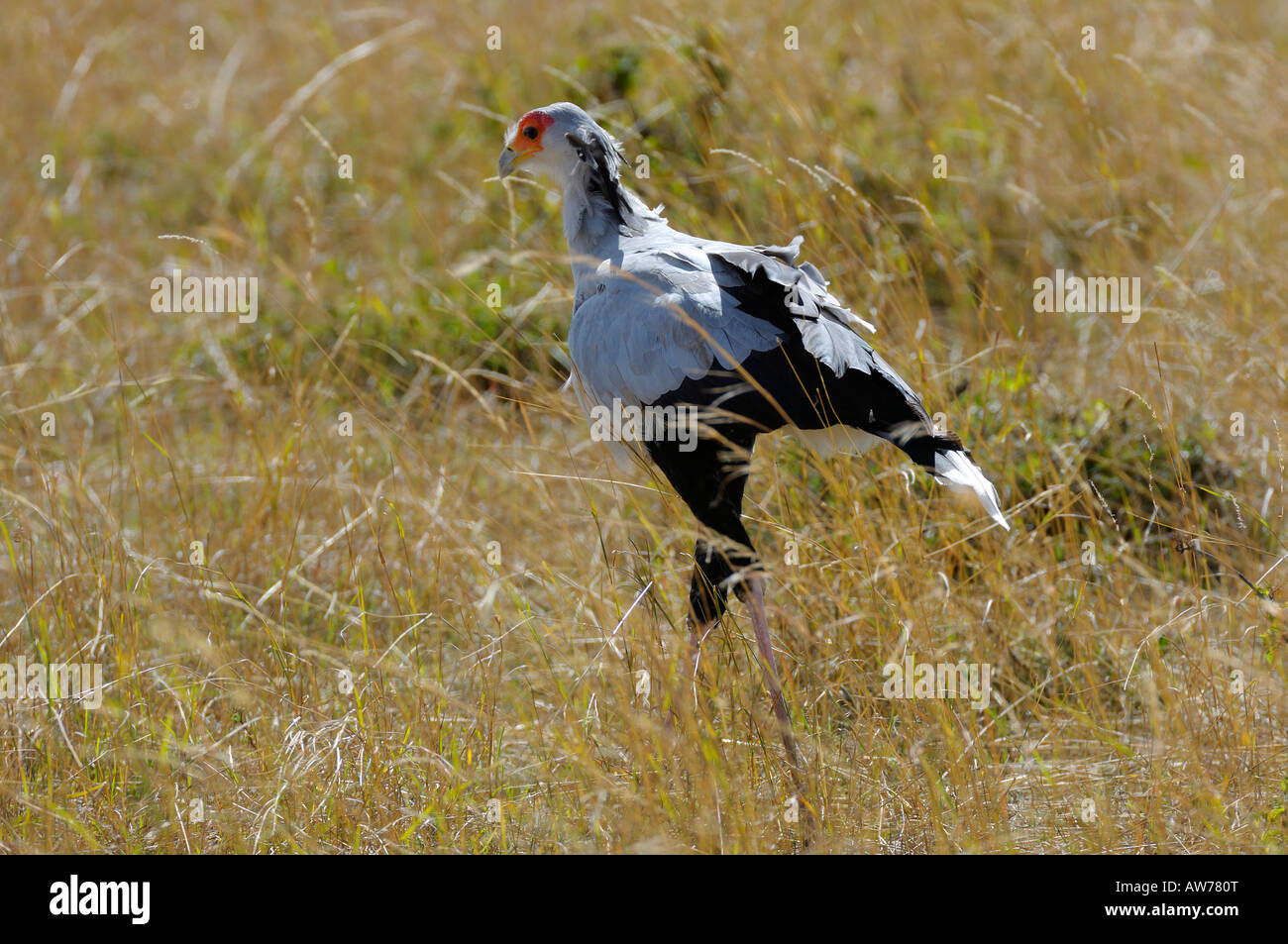 Secretary bird, Masai Mara, Kenya Stock Photo