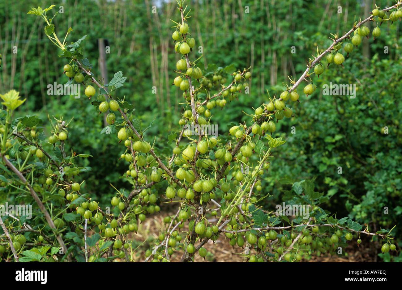 Severe defoliation caused by gooseberry sawfly Nematus ribesii larvae feeding - Stock Image