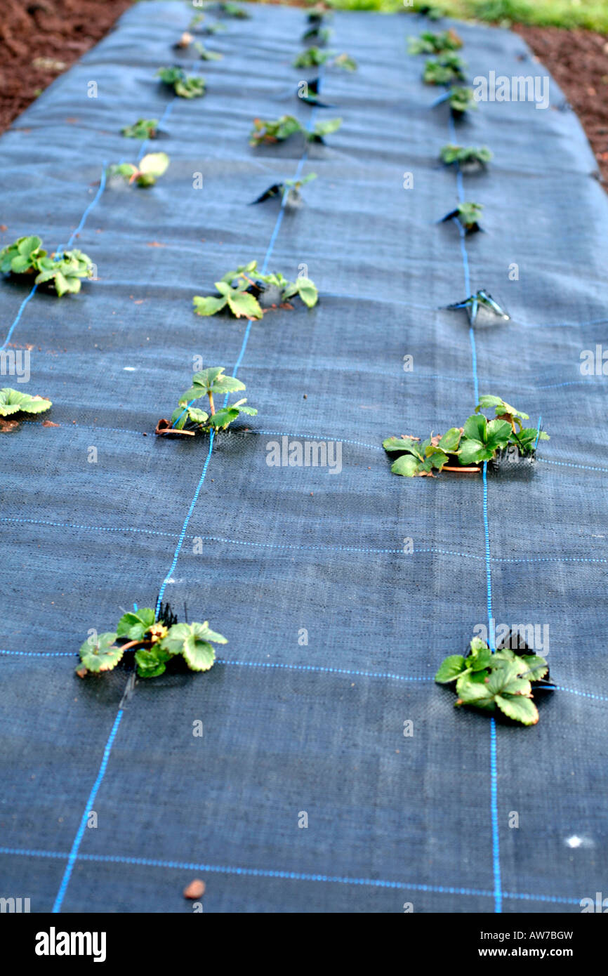 GROWING STRAWBERRIES THROUGH A MYPEX GROUND COVER MEMBRANE Stock Photo