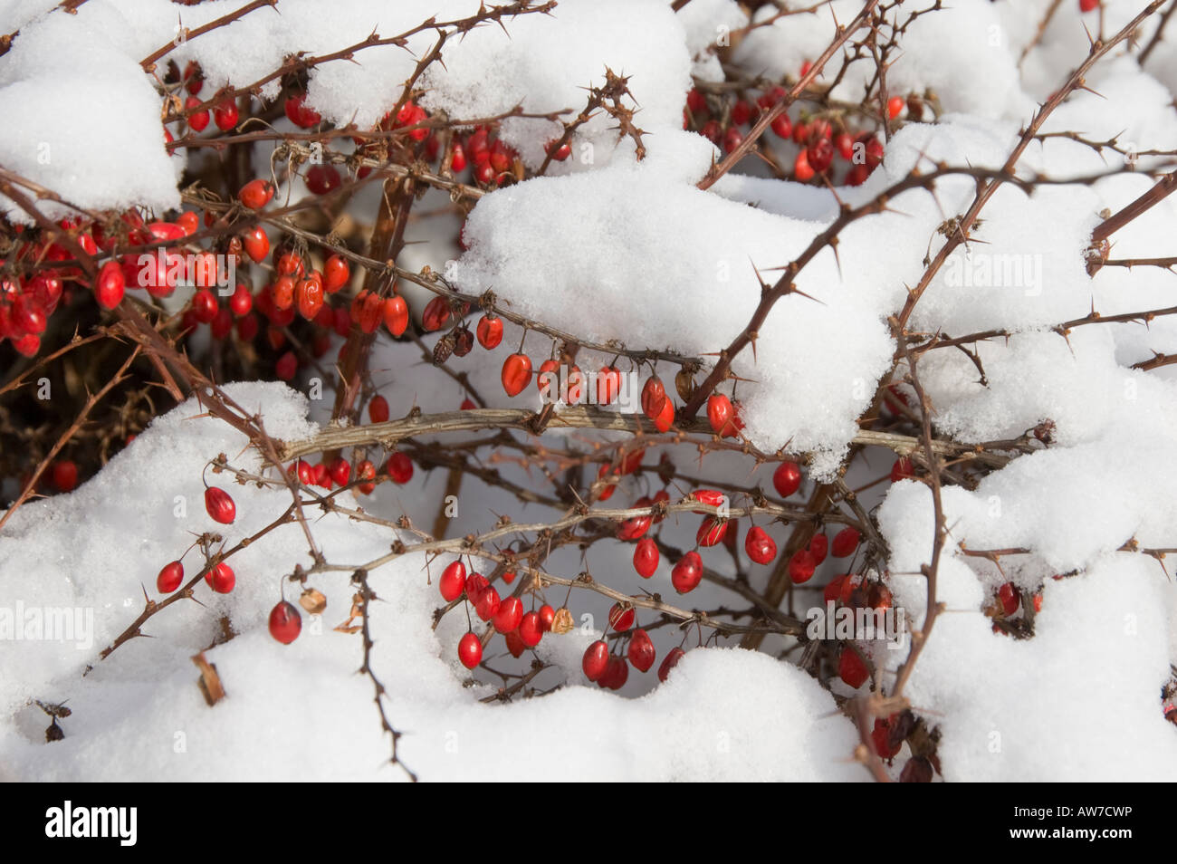 Red Berries In Snow With Thorns Close Up Detail Focus On Fruit