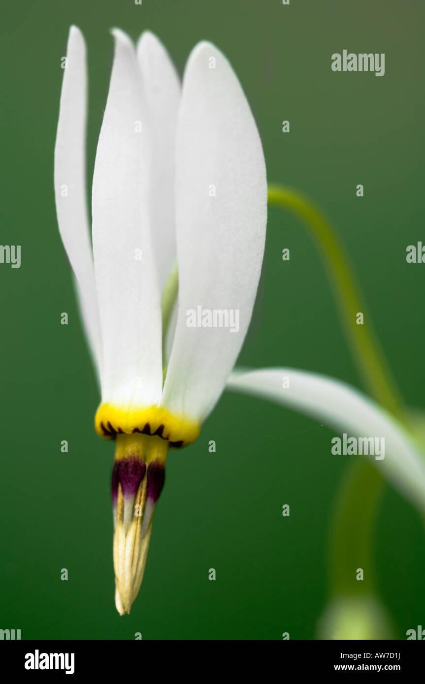 Shooting Star Dodecatheon meadia Primrose Family Primulaceae Buffalo National River Arkansas - Stock Image