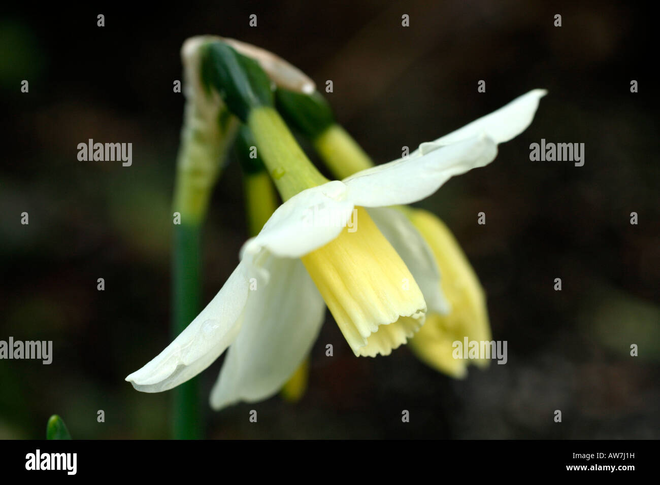 NARCISSUS TOTO AGM Stock Photo