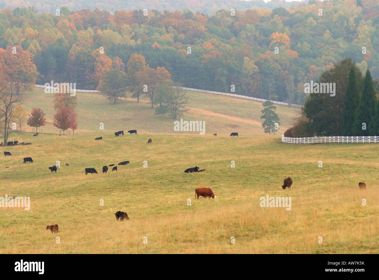 USA Gordonsville VA Cows graze in a pastoral autumn scene near Gordonsville VA - Stock Image