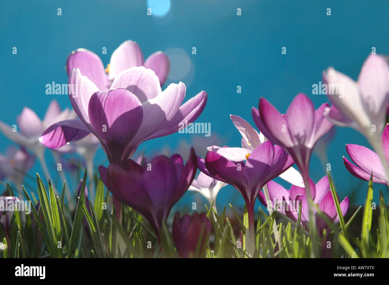 Delicate Crocus Flowers In Spring Stock Photo 16494985 Alamy