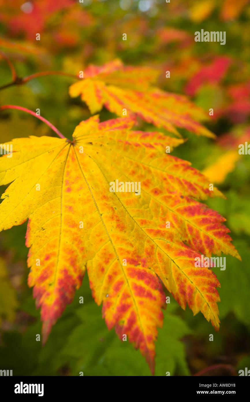 Acer Japonicum Vitifolium Full Moon Maple Cultivar Leaf National
