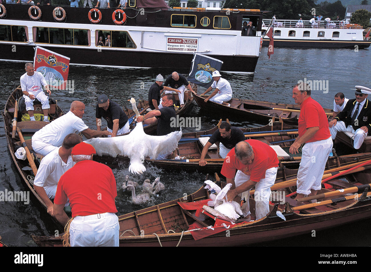 Traditional swan upping on the River Thames near Henley. Mute swan Cygnus olor. - Stock Image