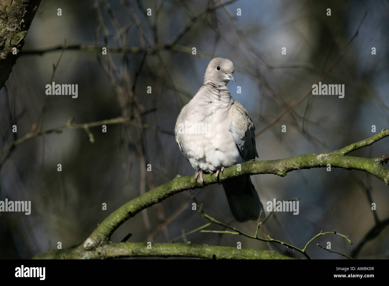 Collared dove Streptopelia decaocto Lancs UK Winter - Stock Image
