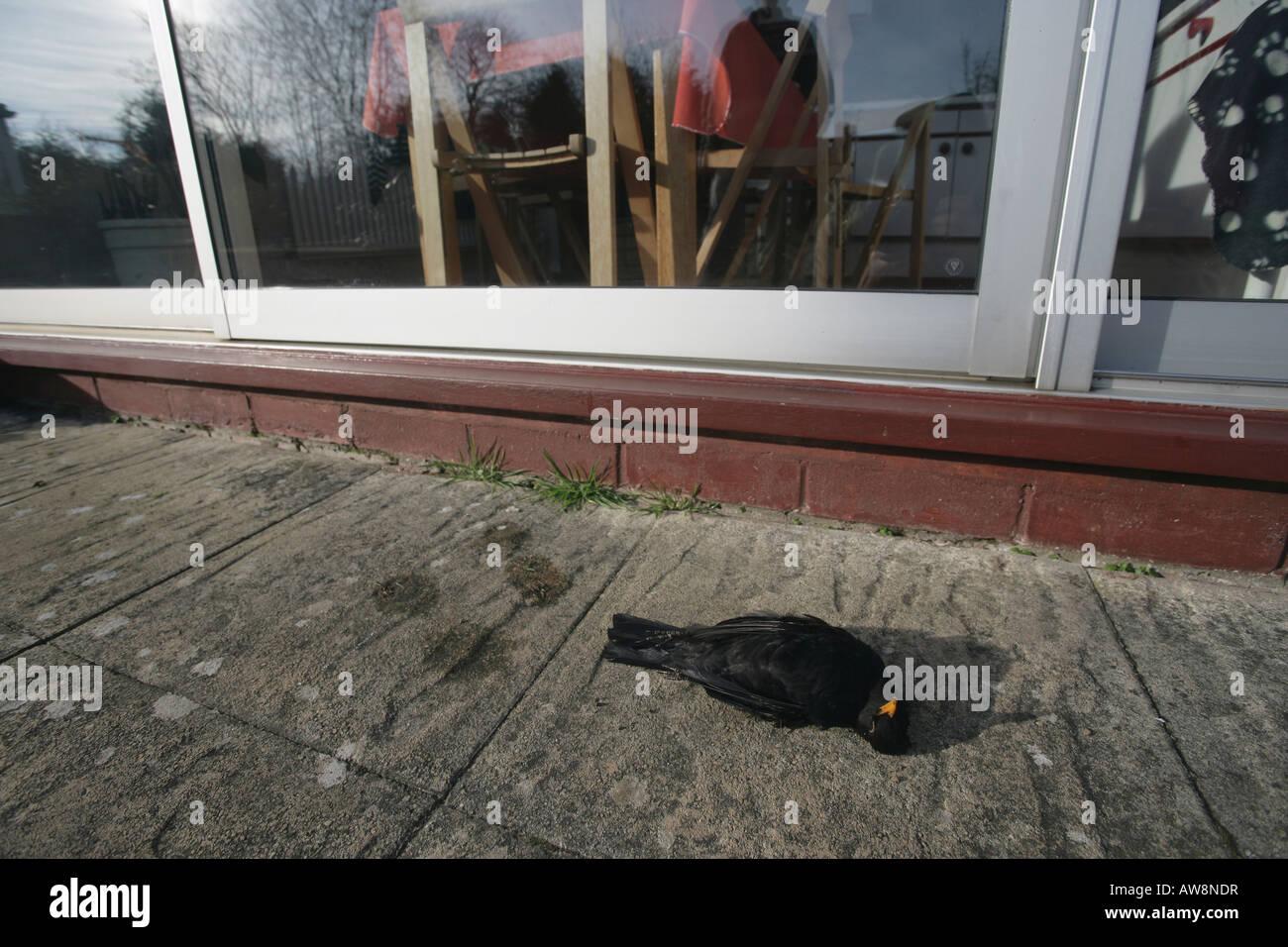 Blackbird Turdus merula Male Killed flying into window West Midlands UK - Stock Image