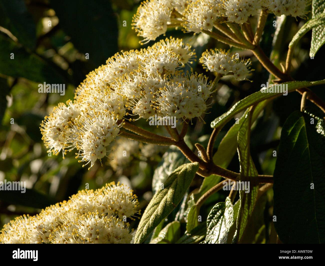 Leatherleaf viburnum (Viburnum rhytidophyllum) - Stock Image