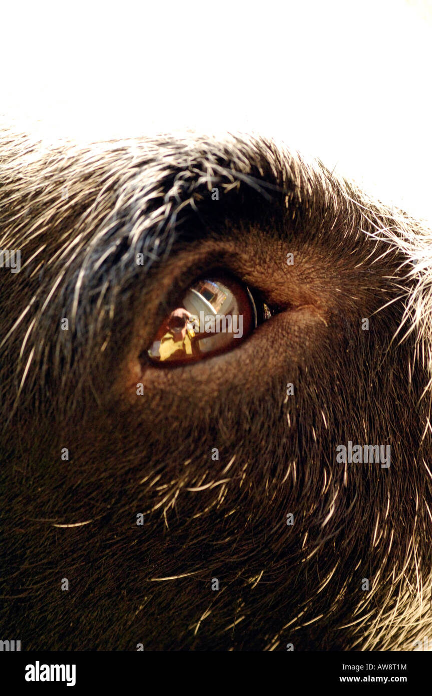 a close up of a dogs eye looking upwards jack russel terrier - Stock Image