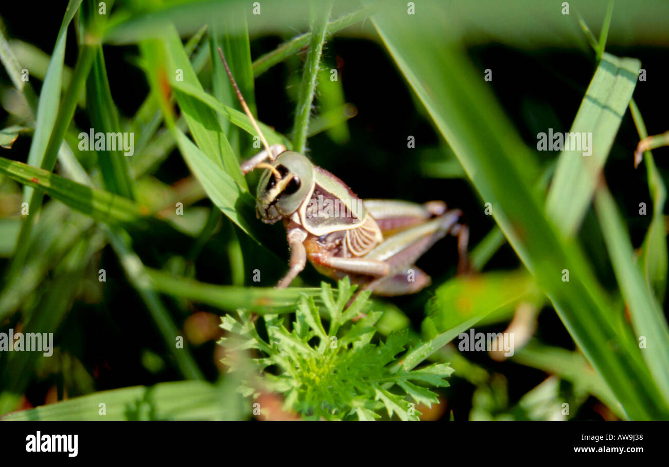 Mexican grass hopper Stock Photo