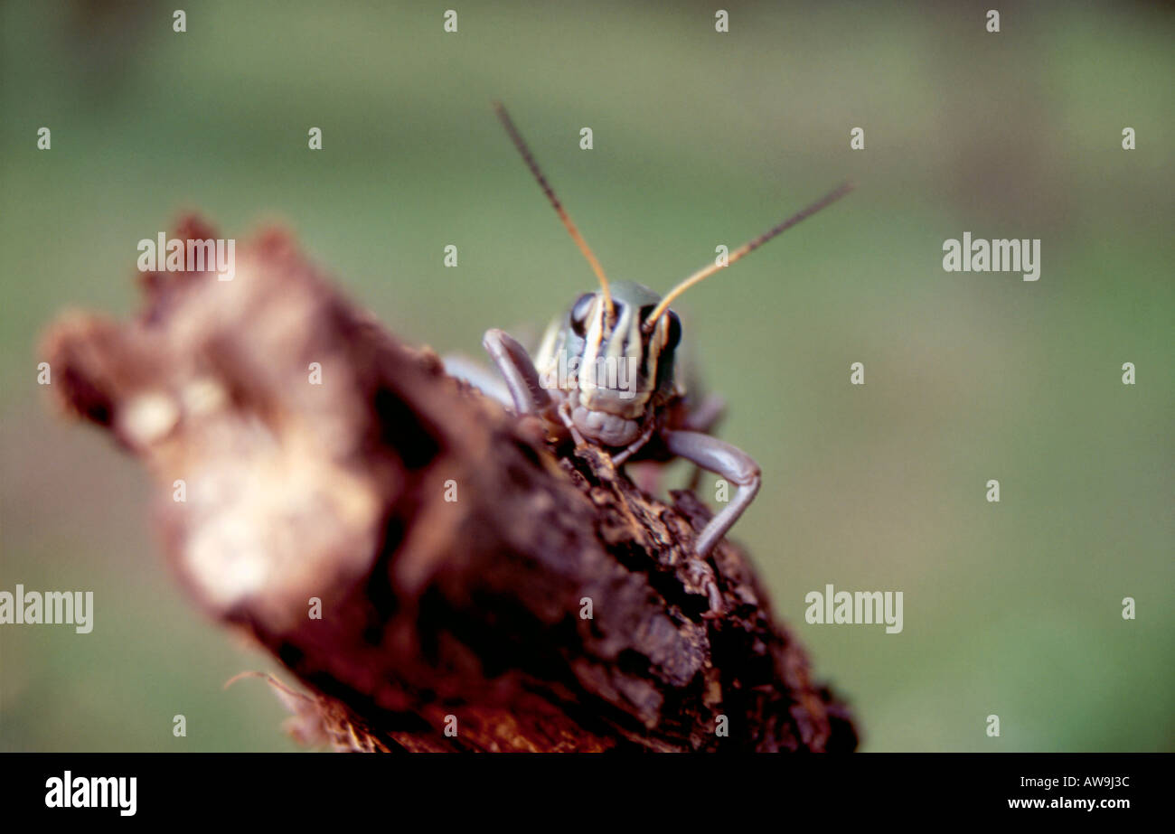 Mexican grass hopper Stock Photo