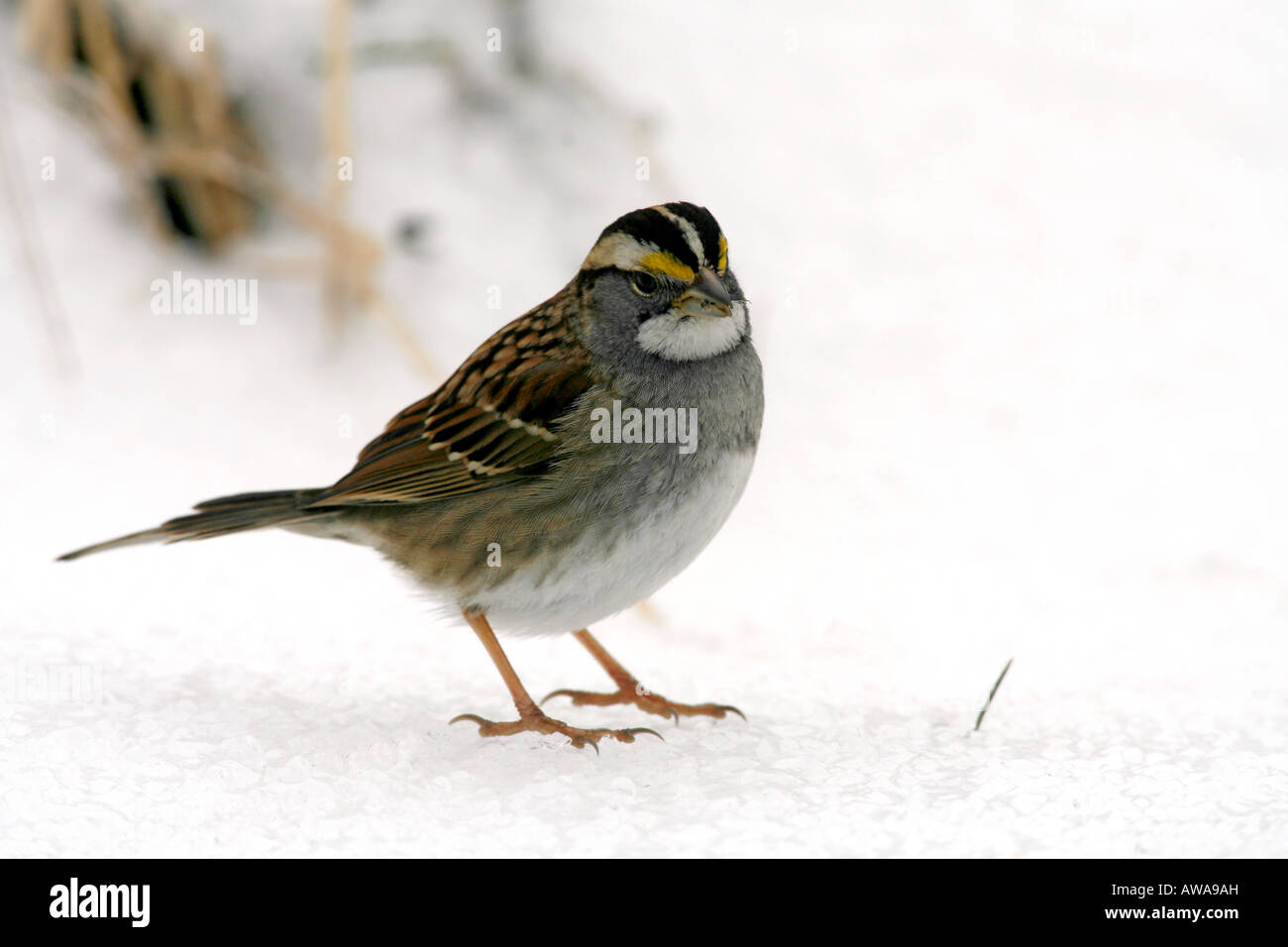 White throated Sparrow in Snow - Stock Image