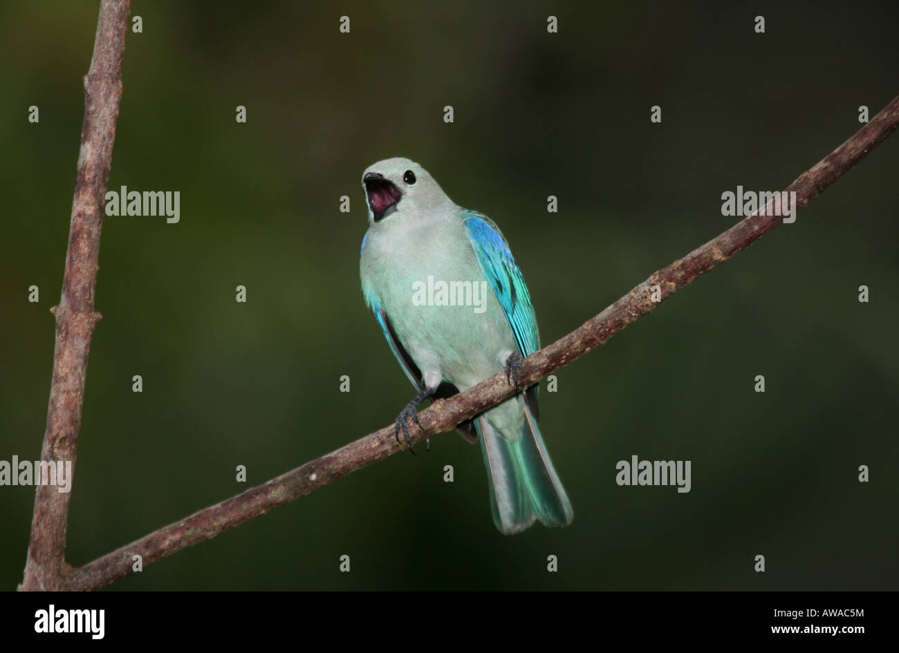 Blue-gray Tanager, Thraupis episcopus, in Soberania national park, Republic of Panama. - Stock Image