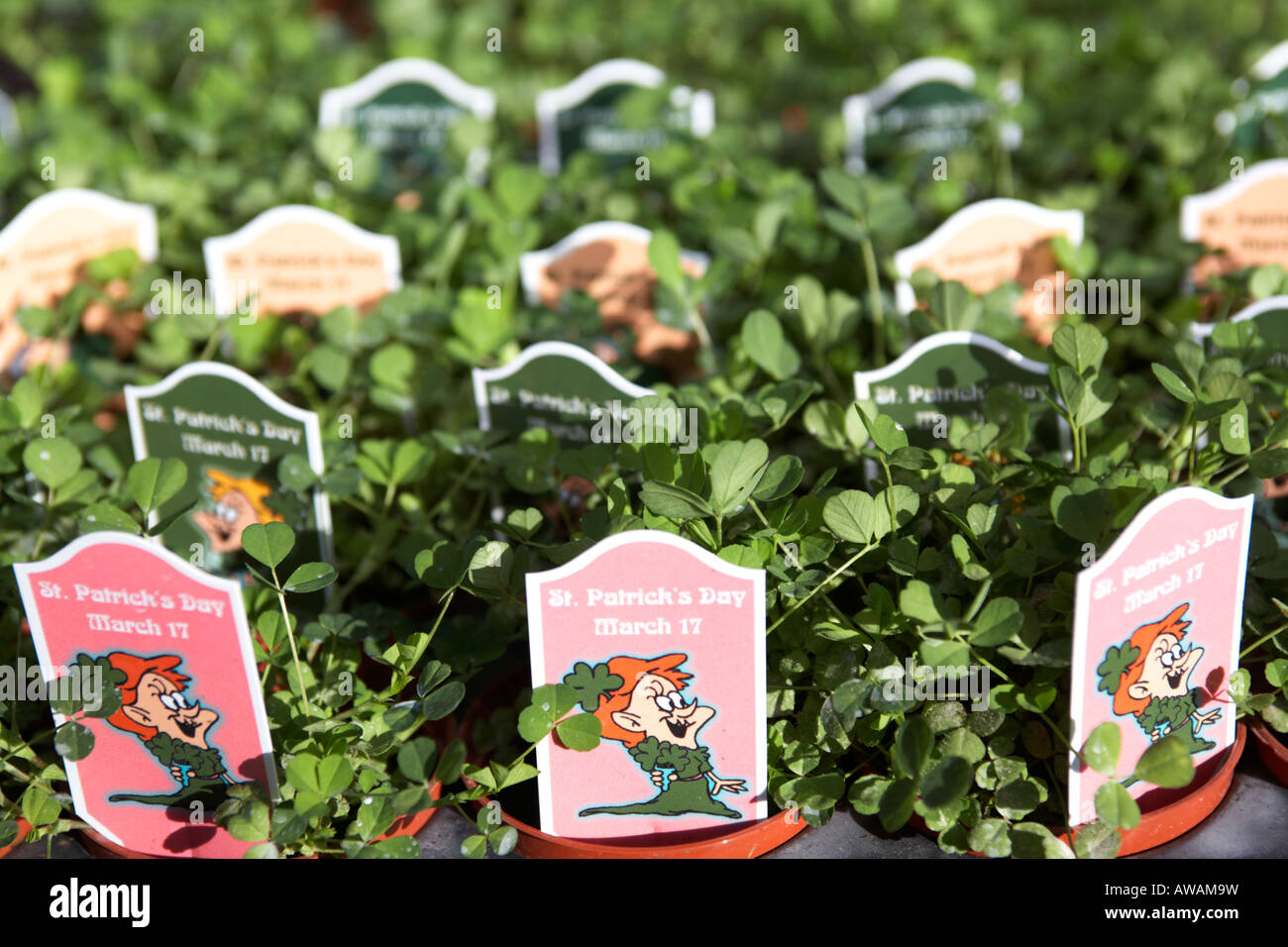 trays of potted shamrock plants including st patricks day signs at hoop hill nurseries county Armagh Northern Ireland - Stock Image
