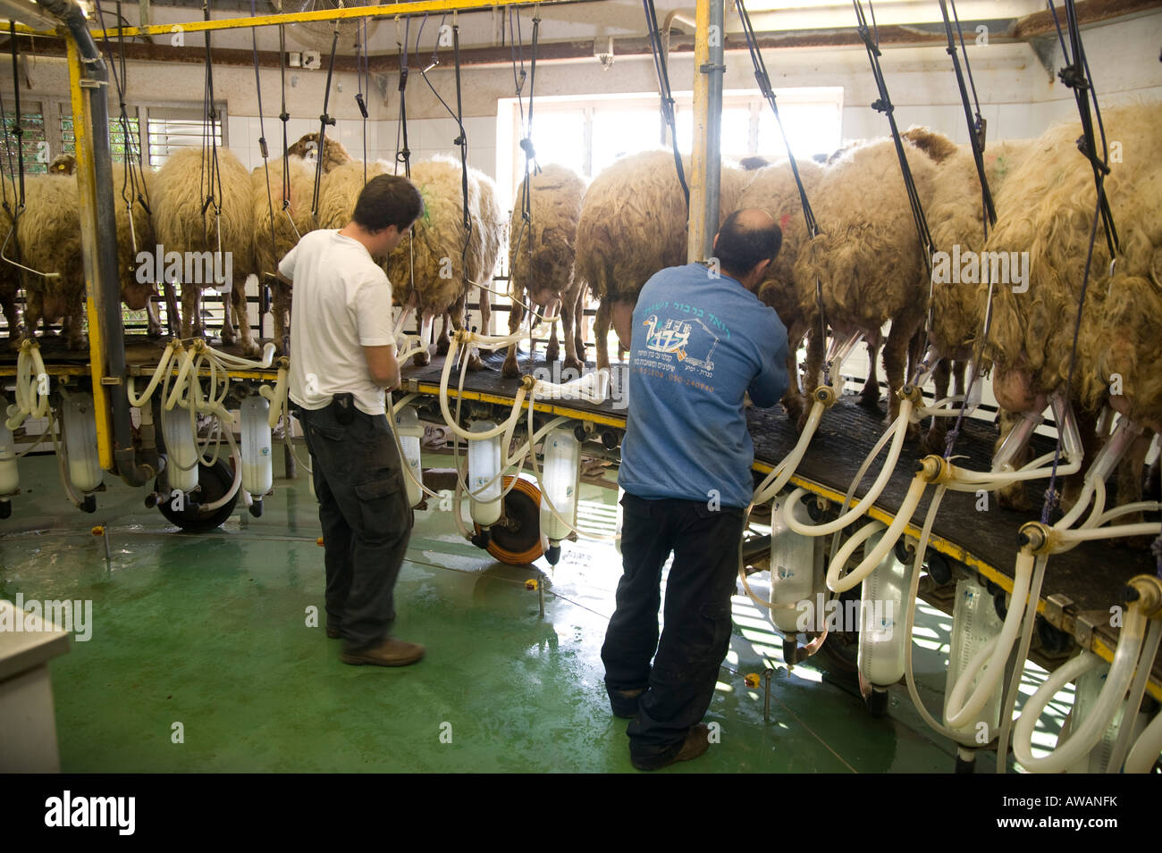 Israel Sheep dairy farm Milking the sheep connecting the suction