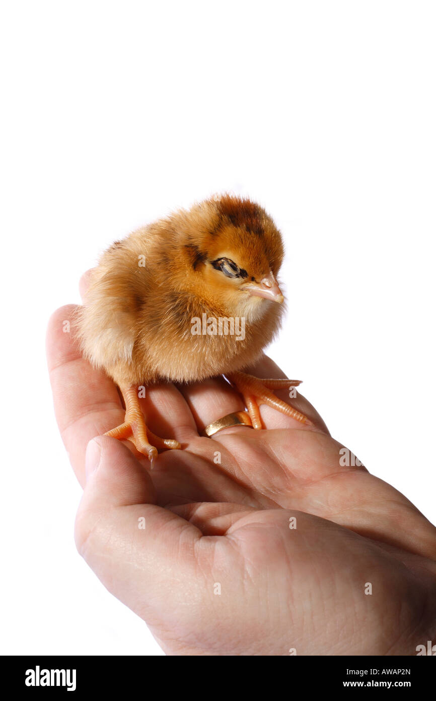 Baby chick sitting on a hand - Stock Image