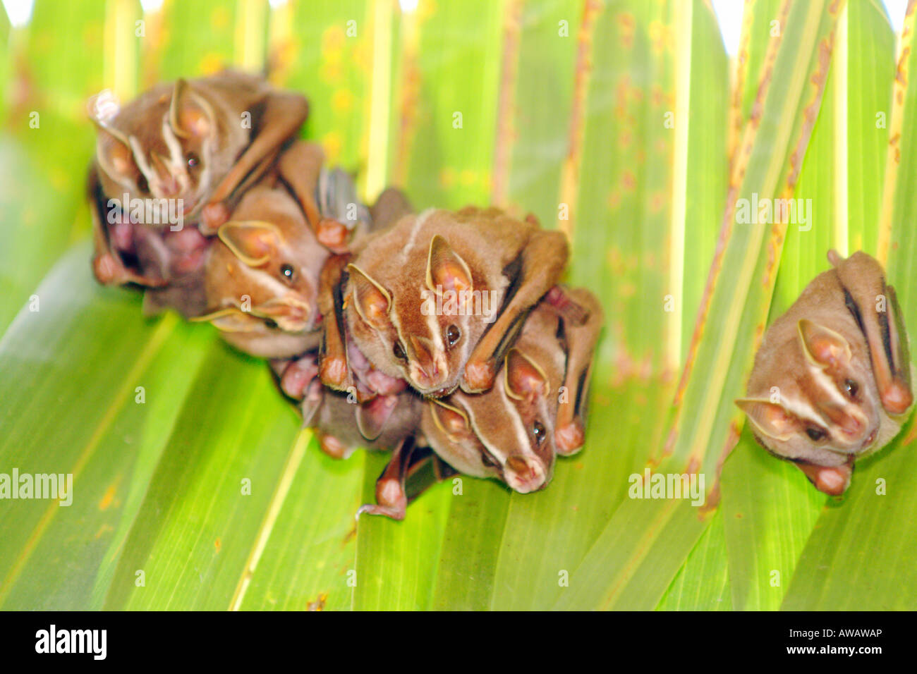 Brown Tent-making Bat, Uroderma magnirostrum, Corcovado National Park, Costa Rica Stock Photo