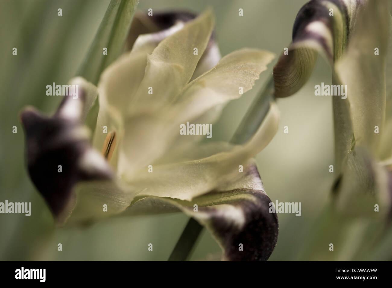 Macro of a Iris - Stock Image