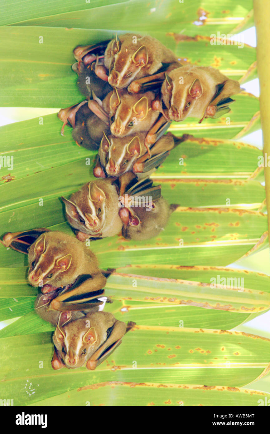Brown Tent-making Bat, Uroderma magnirostrum, Corcovado National Park, Costa Rica Stock Photo