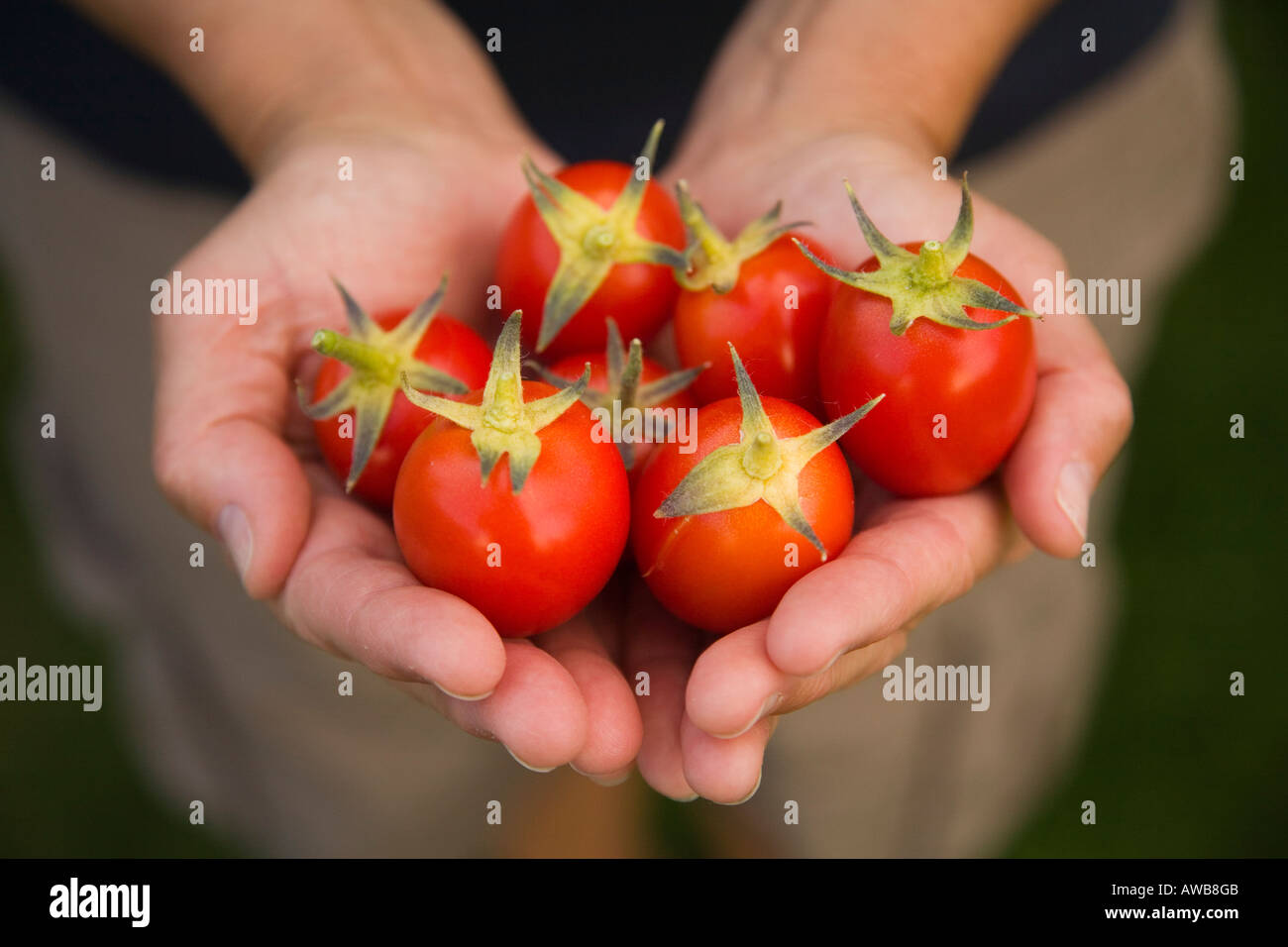Women's hands holding tomatoes - Stock Image