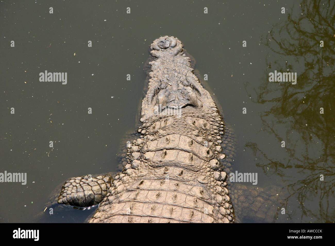 Crocodile in the water - Stock Image
