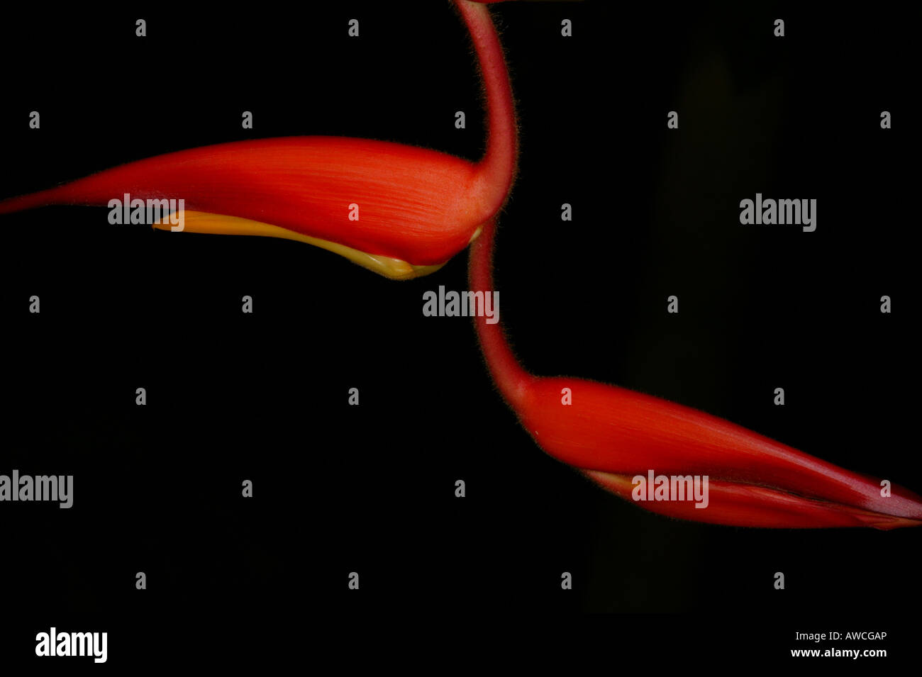 Colorful Heliconia flower in the cloudforest in Volcan Baru national park, Chiriqui province, Republic of Panama. - Stock Image