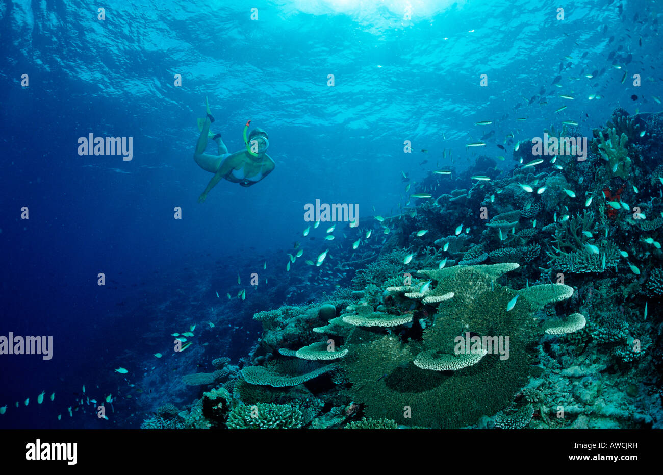 Snorkeling over Coral Reef Maldives Indian Ocean Meemu Atoll - Stock Image