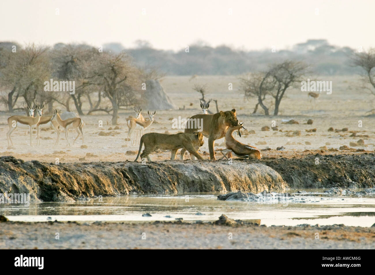 Hunting Lioness (Panthera leo) with cups and a killed springbok (Antidorcas marsupialis), Nxai Pan, Makgadikgadi - Stock Image