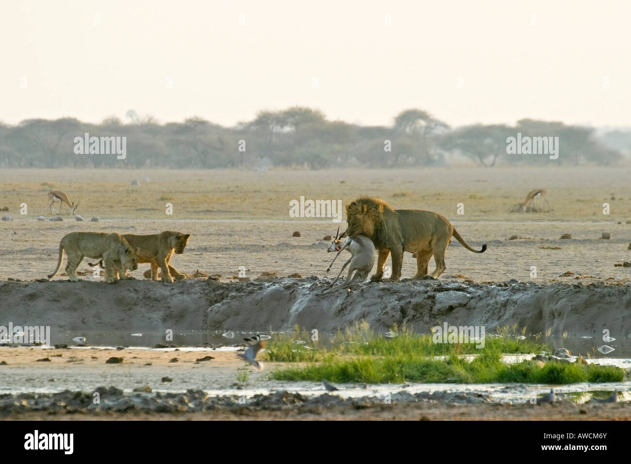 Hunting Lion (Panthera leo) with with cups and a killed springbok (Antidorcas marsupialis), Nxai Pan, Makgadikgadi - Stock Image