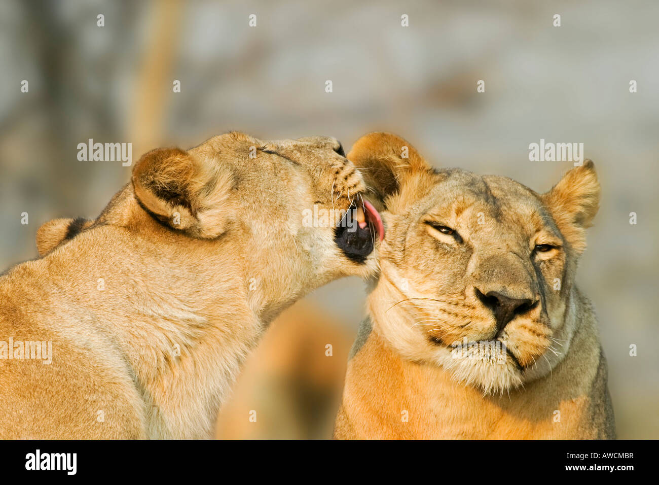 Lionesses (Panthera leo) are licking one another, Savuti, Chobe national park, Botswana, Africa Stock Photo