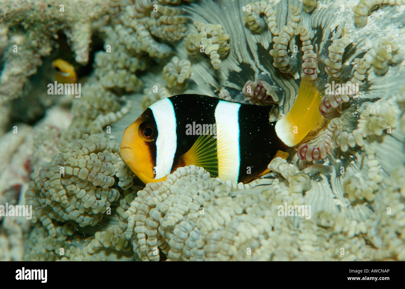 Clarks Anemonefish Amphiprion clarkii Maldives Indian Ocean Meemu Atoll - Stock Image