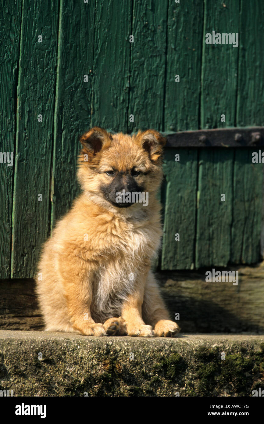 Harzer Fuchs (Harz Fox) puppy (Canidae), German dog breed - Stock Image